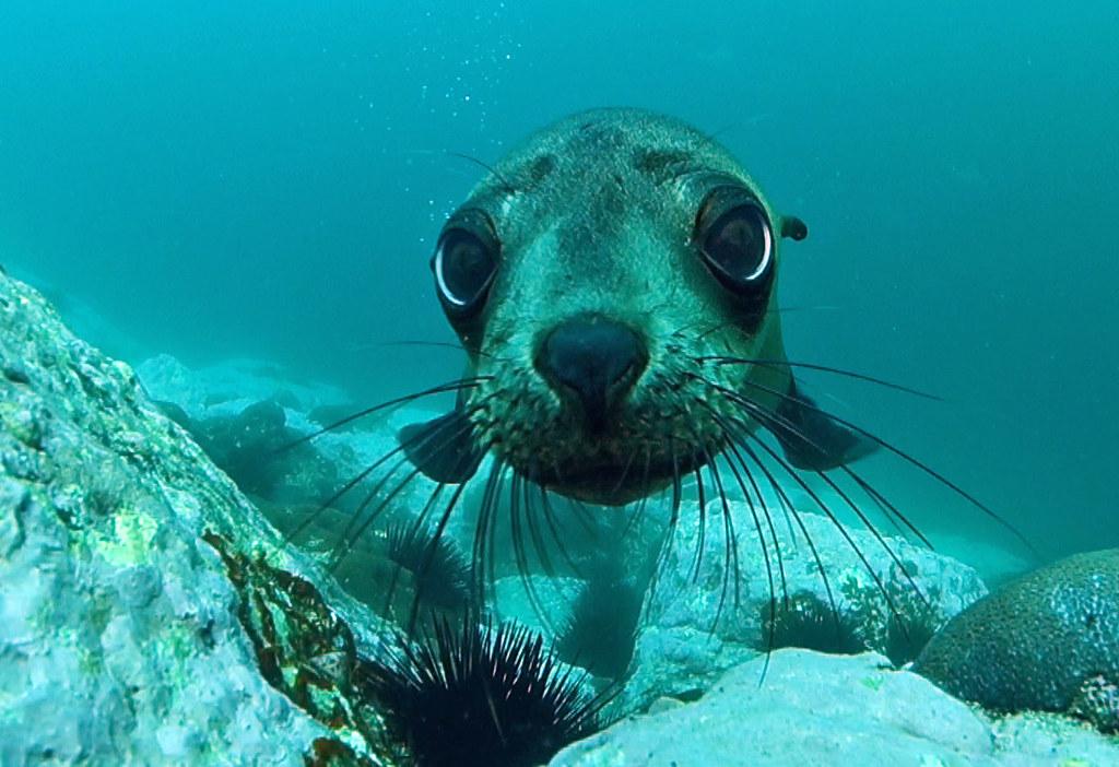 cute pup - australian fur seal