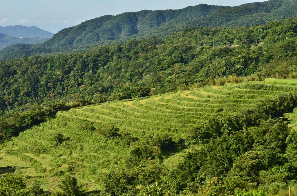 收割之後,鴨舌草與滿江紅能夠恣意生長,是因為農人願意和自然共享水田。