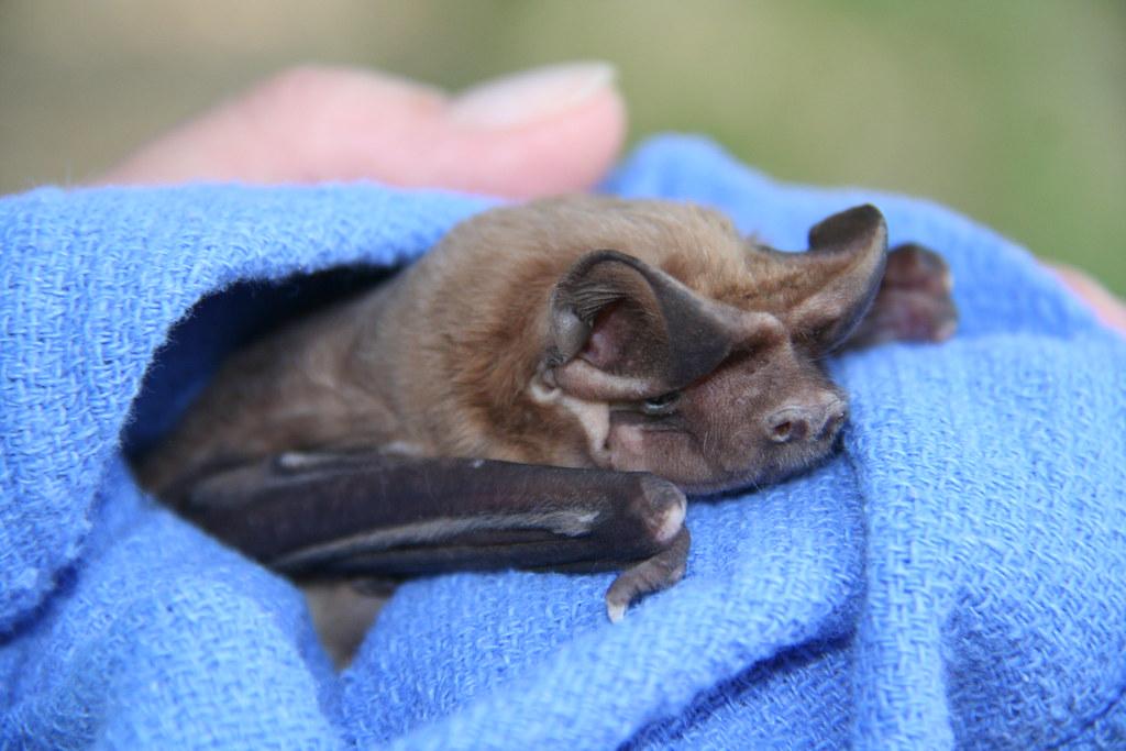 Florida Bonneted Bat Fwc Photo By Gary Morse Florida