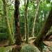 Stand of ancient antarctic beech trees Tullawallal binna burra