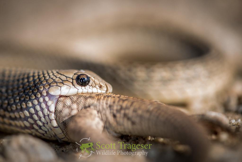 Salvadora Hexalepis Mojavensis Mojave Patch Nosed Snake Salvadora Hexalepis Mojavensis