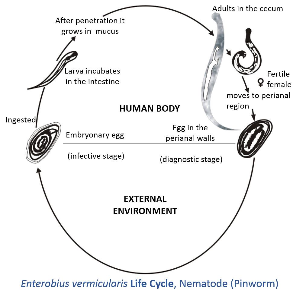 Enterobius Vermicularis Life Cycle