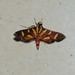 Syngamia florella – Orange-spotted Flower Moth