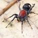 Velvet ant mimicking corinnid spider (Graptartia granulosa)