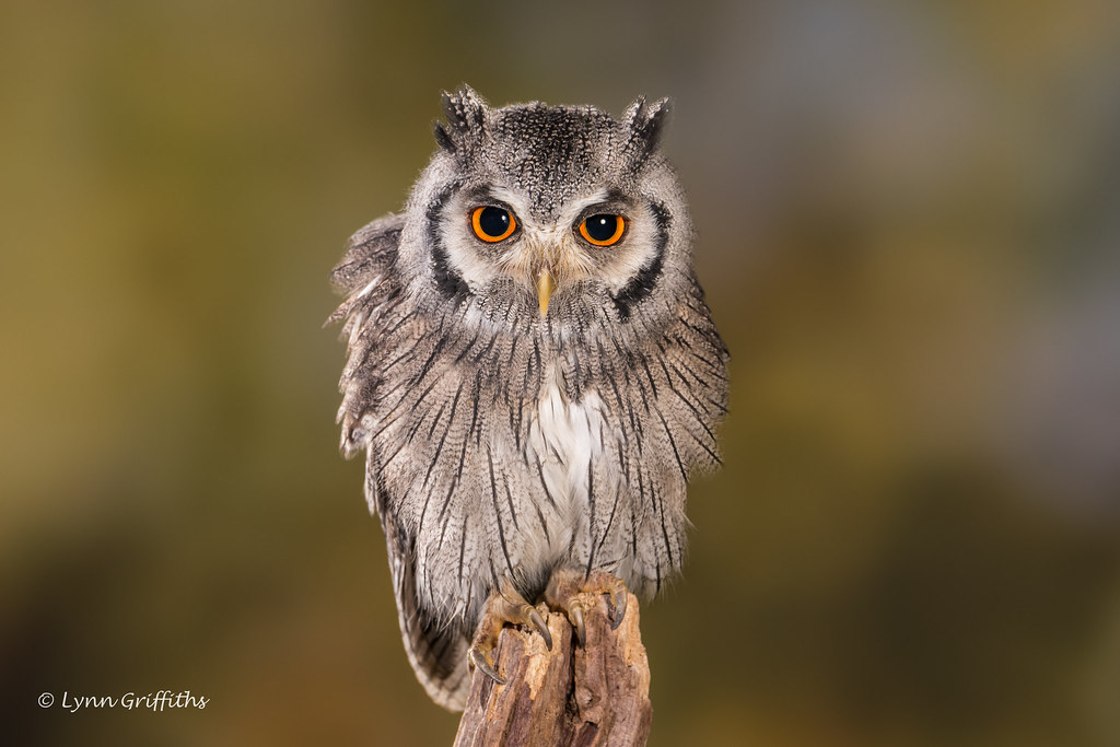 Southern White-faced Owl D75_5752.jpg | The southern white