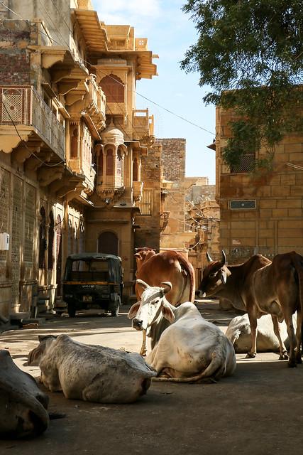 Street cows in Golden City, Jaisalmer, India ジャイサルメール 黄金の町の野良牛