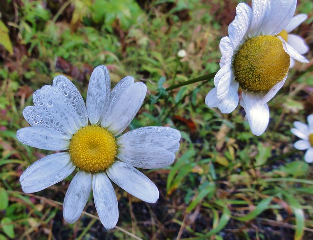 Image shows two white daisies with large yellow centers. They are so old that the petals have become transluscent. They are covered in dewdrops.