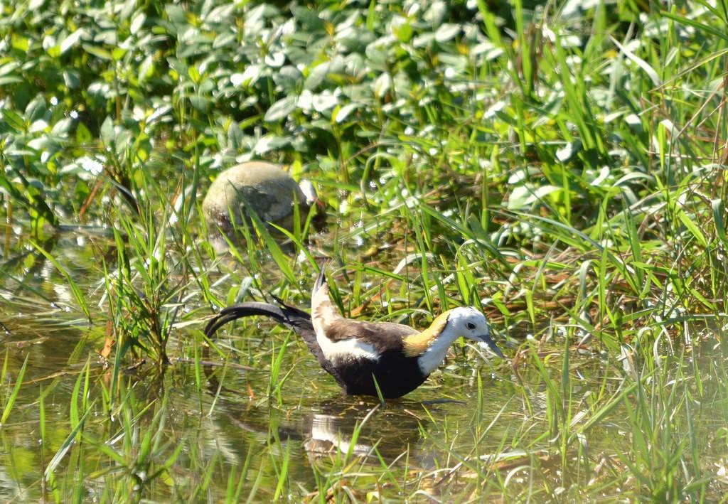 菱角鳥水雉。圖片來源:jinchin lin(CC BY-NC-ND 2.0)。