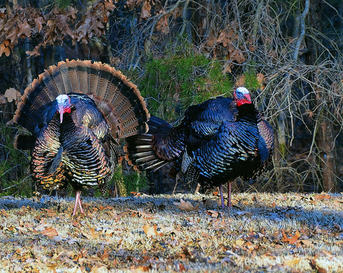 Photo of two wild turkeys