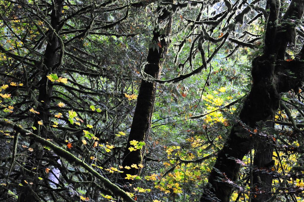 Goldstream Park Vancouver Island Ancient Cedars Age
