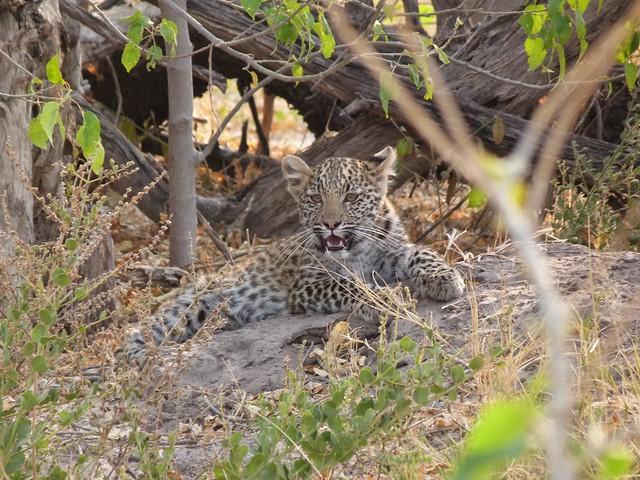 Cría de leopardo en Savuti (Safari en Chobe, Botswana)