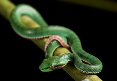 Trimeresurus popeorum, Pope's pit viper (male/juvenile) - Kaeng Krachan National Park, Thailand by Rushenb