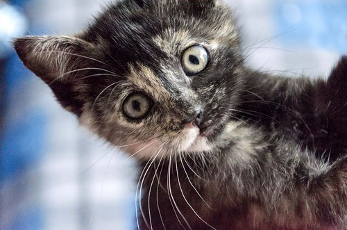 Eclipse, gatita carey dulcísima de cara bicolor espectacular nacida en Octubre´16, en adopción. Valencia. ADOPTADA. 31225952852_ac810584db