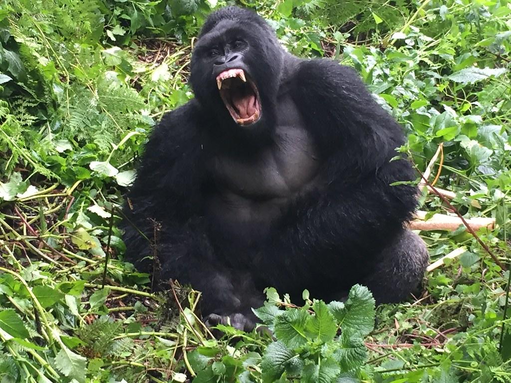gorilla golf georgia