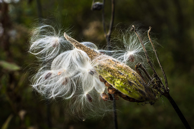 Milkweed, Seed, Weed, Fuzzy, Seed Production