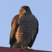 Sperwer op het dak van de buren /  Sparrowhawk at the neighbors's  roof