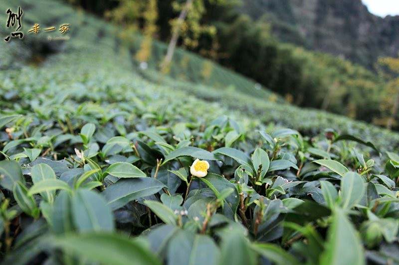 銀杏森林|武岫農圃|銀杏林觀景步道