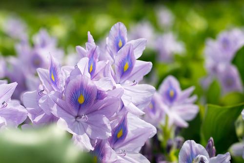 鳯眼藍因為在紫藍花瓣中有一塊像鳳眼般的黃斑而得名