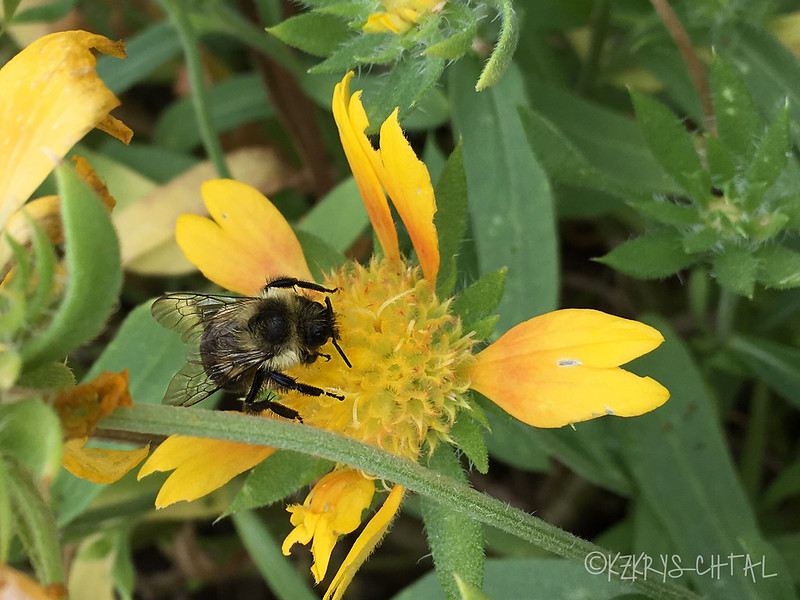 IMG_5758BumbleBeeOnBlanketFlower
