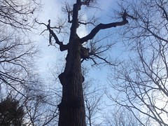Gnarly Old Shagbark Hickory
