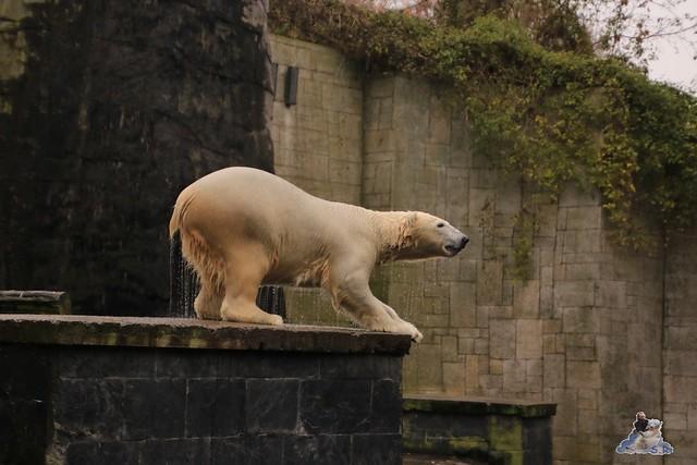 Eisbär Fiete im Zoo Rostock 05.11.2016 003
