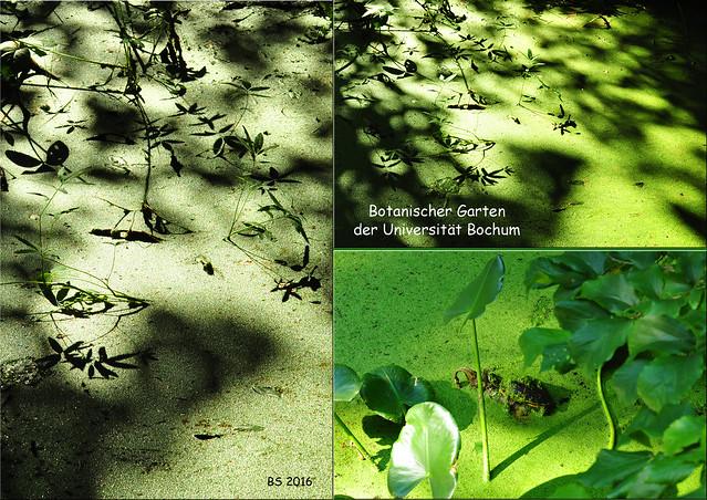 Gartenreisen und Pflanzenfotografie. Botanischer Garten der Universität Bochum. Wasserlinsen. Wasserschildkröte - Fotos: Brigitte Stolle 2016