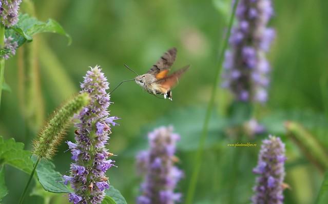 Plante melifere | Lophantus