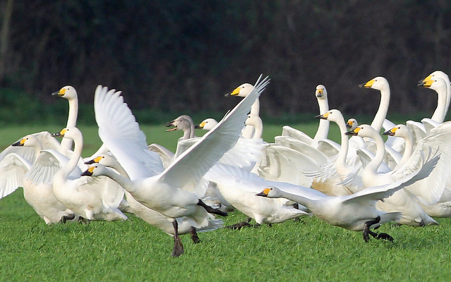 Whooper and Bewick's swans at Ludham airfield, Norfolk.