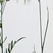 Zwenkdravik / Cheat grass / Bromus tectorum