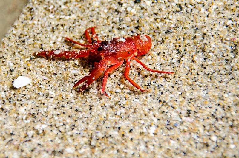 red tuna crab