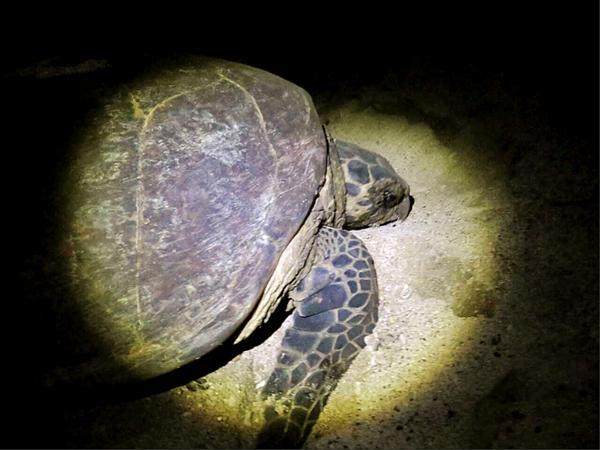 澎湖保育史上重大發現,首度有玳瑁登岸產卵紀錄。照片來源:澎湖縣政府農漁局。