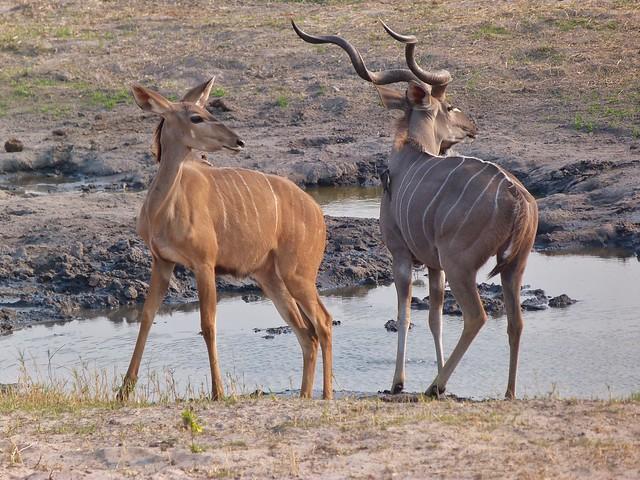 Kudus en Botswana