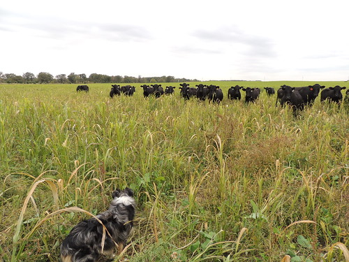 Angus cows on Tom Finnegan's farm grazing cover crops
