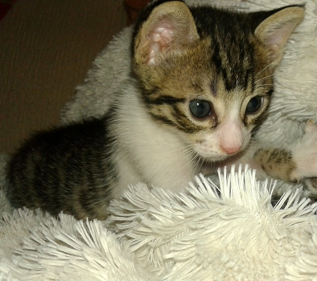 FALLECIDO- Marvel, gatito blanquipardo bebé en Adopción Especial, nacido en Junio´15, en adopción. Valencia. 20495802856_83e9b00bba_z