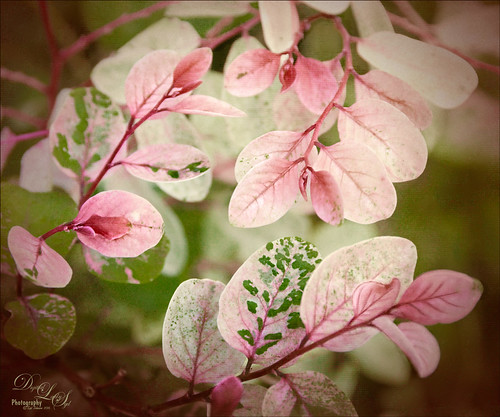 Image of a Pink and Green Snowbush