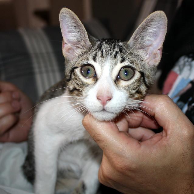 FALLECIDO- Marvel, gatito blanquipardo bebé en Adopción Especial, nacido en Junio´15, en adopción. Valencia. 21466673183_06d2671cd2_z