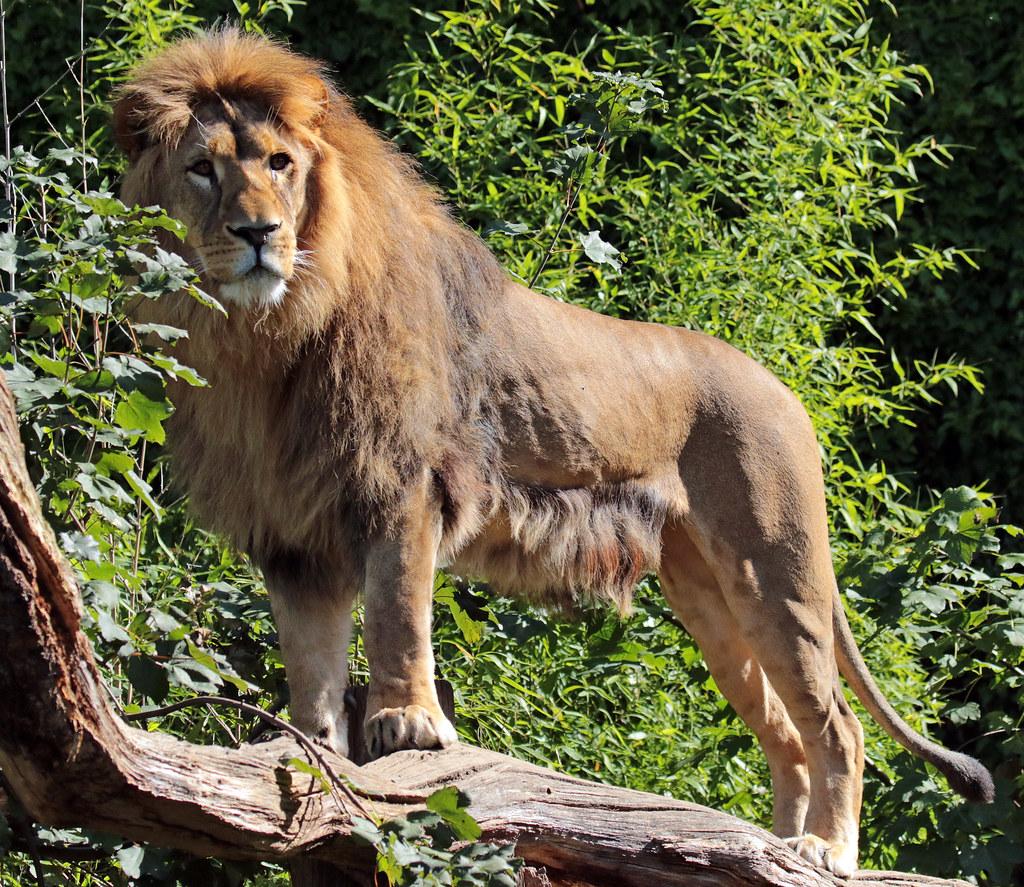 afrikaanse leeuw dortmund jn6a5844 safi kok flickr. Black Bedroom Furniture Sets. Home Design Ideas