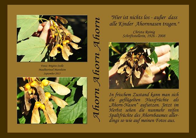 Gedicht Christa Reinig Literatur Poesie Ahorn Ahornbaum Ahornfrucht Ahornnase Ahornsamen Mannheim Maulbeerinsel September 2015 Foto Brigitte Stolle