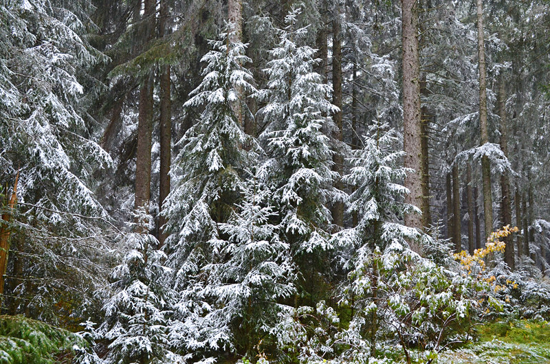 Snowy upper forest, Black Forest, Germany