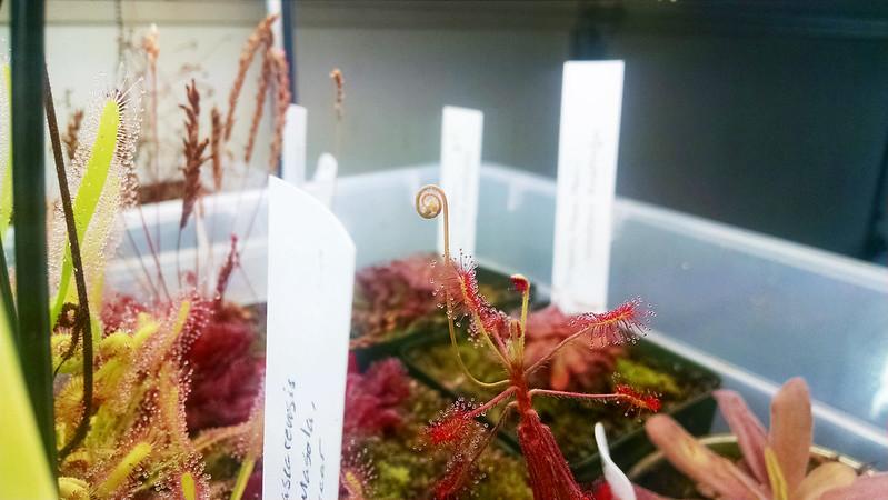 Drosera madagascariensis flower stalk.