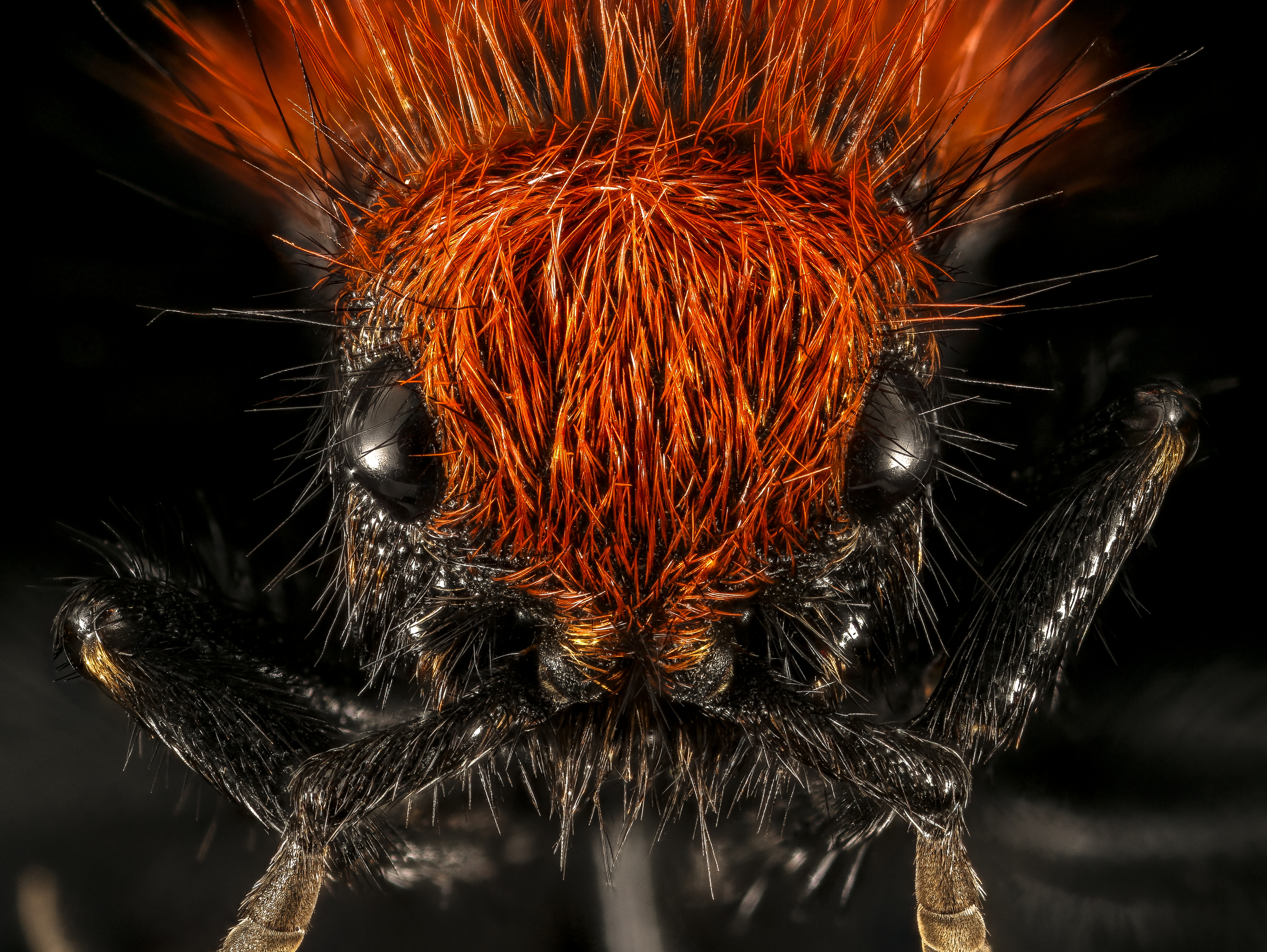 A Cow Killer Wasp aka a Velvet Ant (does not kill cows), USGS [4711 x 3541] x-post -r-HI_Res