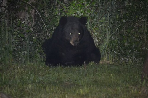 Photo of black bear in the evening