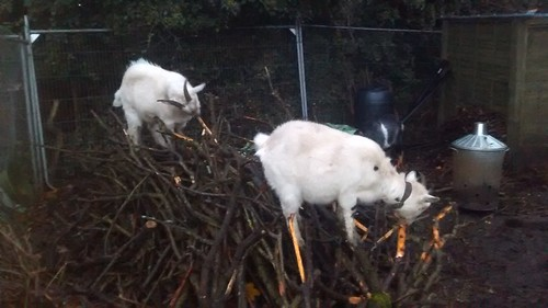 goats eating bark Nov 16 (1)