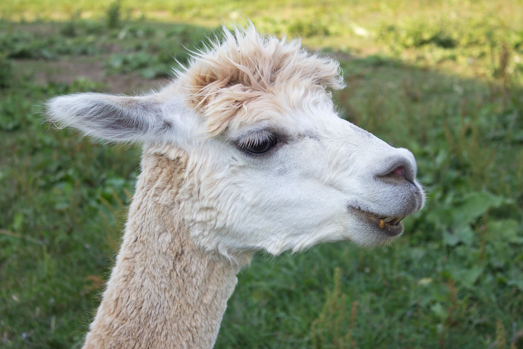 Smiling White Alpaca | A chance to feed the alpacas and ...