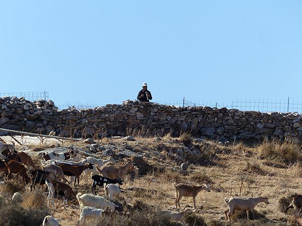 chèvres et leur berger