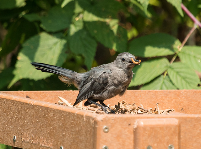 Catbird eating a mealworm