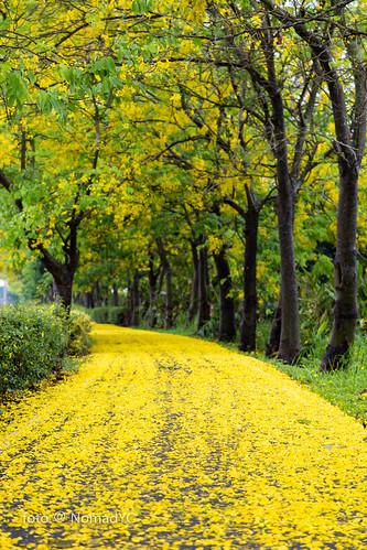 阿勃勒開花形成金黃花徑。圖片來源:Nomad YC(CC BY-NC-ND 2.0)