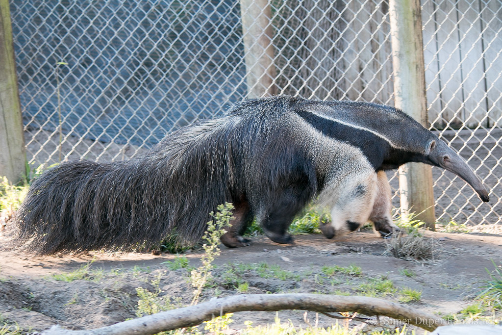 San Francisco Zoo - Anteater