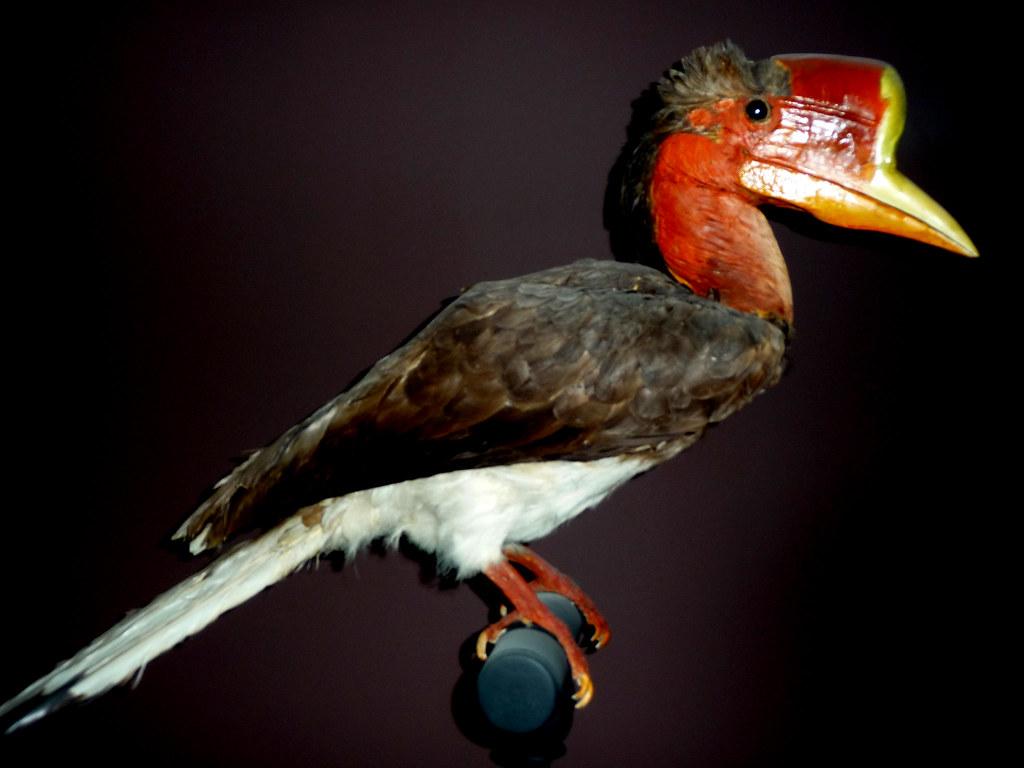 盔犀鳥(helmeted hornbill)。圖片來源:Citron(CC BY-SA 3.0)