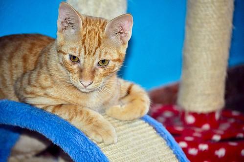 Jerry, gatito rubio guapo muy dulce y bueno, esterilizado, nacido en Abril´15 en adopción. Valencia. ADOPTADO. 20826623224_e1ab936ae8